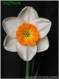 "Centrefold,  3 W-YYR, G.W.E. Brogden, 1991, Ile du Nord, Nouvelle-Zélande. <br><span class=""ds_text"">Photo #20 727 : Quality Daffodils, Angleterre, Royaume Uni</span>"