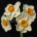 "Geranium,  8 W-O, J.B. van der Schoot, 1930, the Netherlands.<br><span class=""ds_text"">Photo #19,089 : Brenda Lyon, New South Wales, Australia</span>"