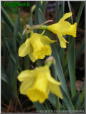 """Little Gem,  1 Y-Y, J. Gerritsen and Son, 1959, the Netherlands.<br><span class=""""ds_text"""">Photo #20,793 : Quality Daffodils, England, UK</span>"""