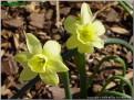 "Angel's Whisper,  5 Y-Y, Glenbrook Bulb Farm, 1997, Tasmania, Australia.<br><span class=""ds_text"">Photo #7,200 : Becky Fox Matthews, United States</span>"