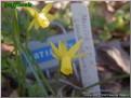"Mortie,  6 Y-Y, Glenbrook Bulb Farm, 1998, Tasmania, Australia.<br><span class=""ds_text"">Photo #5,907 : Sandra Stewart, Alabama, United States</span>"