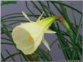 "Smarple, 10 W-W, Glenbrook Bulb Farm, 1997, Tasmania, Australia.<br><span class=""ds_text"">Photo #8,599 : Jon Kawaguchi, California, United States</span>"