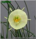 "Smarple, 10 W-W, Glenbrook Bulb Farm, 1997, Tasmania, Australia.<br><span class=""ds_text"">Photo #8,600 : Jon Kawaguchi, California, USA</span>"