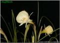 """Spoirot, 10 W-W, Glenbrook Bulb Farm, 1998, Tasmania, Australia.<br><span class=""""ds_text"""">Photo #3,550 : Mary Lou Gripshover, Ohio, United States</span>"""