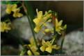 "Angel's Whisper,  5 Y-Y, Glenbrook Bulb Farm, 1997, Tasmania, Australia.<br><span class=""ds_text"">Photo #8,108 : Mary Lou Gripshover, Ohio, United States</span>"