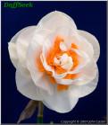 "Blossom Lady,  4 W-O, Peter D.K. Ramsay, 2002, Nordinsel, Neuseeland.<br><span class=""ds_text"">Foto #9.473 Sep 14, 2007: John Castor, Kalifornien, Vereinigte Staaten</span><br/><span class=""ds_text_exif"">Properties:  NIKON D80, Original Size 511 x 586, Exposure 1/10 sec, Aperture f/5.6, ISO 200, Focal length 80.0 mm, Exposure Program AE</span><br>"