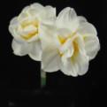 "Bridal Crown,  4 W-Y, J. Schoorl, 1949, the Netherlands.<br><span class=""ds_text"">Photo #20,268 : Brenda Lyon, New South Wales, Australia</span>"
