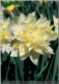 """Irene Copeland,  4 W-Y, William F.M. Copeland, 1915, England, UK.<br><span class=""""ds_text"""">Photo #11,369 : Old House Gardens Heirloom Bulbs, Michigan, USA</span>"""