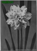 "Irene Copeland,  4 W-Y, William F.M. Copeland, 1915, England, UK.<br><span class=""ds_text"">Historic Image #17,916 : Albert F. Calvert, England, UK</span>"