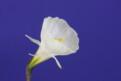 "Smarple, 10 W-W, Glenbrook Bulb Farm, 1997, Tasmania, Australia.<br><span class=""ds_text"">Photo #14,760 Mar 05, 2008: Kirby Fong, California, United States</span><br/><span class=""ds_text_exif"">Properties:  Canon EOS 40D, Original Size 778 x 522, Exposure 1/3 sec, Aperture f/16.0, ISO 100, No flash, Focal length 50.0 mm, Exposure Aperture-priority AE</span><br>"
