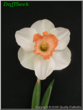 """Accent,  2 W-P, Grant E. Mitsch, 1960, Oregon, USA.<br><span class=""""ds_text"""">Photo #20,701 : Quality Daffodils, England, UK</span>"""