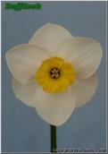 "Port Noo,  3 W-Y, Carncairn Daffodils, 1992, Northern Ireland, UK.<br><span class=""ds_text"">Photo #13,706 Apr 25, 2008: Derrick Turbitt, Northern Ireland, UK</span>"
