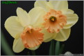 """Spring Bouquet,  2 Y-P, Richard and Elise Havens, 2007, Oregon, United States.<br><span class=""""ds_text"""">Photo #12,883 Apr 27, 2008: David Liedlich, Connecticut, United States</span><br/><span class=""""ds_text_exif"""">Properties:  NIKON D80, Original Size 778 x 524, Exposure 1/320 sec, Aperture f/9.0, ISO 250, Focal length 34.0 mm</span><br>"""
