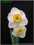 "Merlin,  3 W-YYR, J. Lionel Richardson, 1956, Ireland.<br><span class=""ds_text"">Photo #20,803 : Quality Daffodils, England, UK</span>"