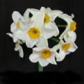 "Geranium,  8 W-O, J.B. van der Schoot, 1930, the Netherlands.<br><span class=""ds_text"">Photo #19,090 : Brenda Lyon, New South Wales, Australia</span>"