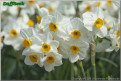 "Geranium,  8 W-O, J.B. van der Schoot, 1930, the Netherlands.<br><span class=""ds_text"">Photo #16,928 : Colorblends Wholesale Flowerbulbs, Connecticut, United States</span>"
