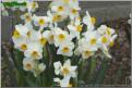 "Geranium,  8 W-O, J.B. van der Schoot, 1930, the Netherlands.<br><span class=""ds_text"">Photo #16,927 : Colorblends Wholesale Flowerbulbs, Connecticut, United States</span>"