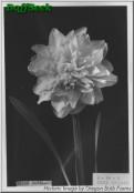 "Irene Copeland,  4 W-Y, William F.M. Copeland, 1915, England, UK.<br><span class=""ds_text"">Historic Image #20,528 : Oregon Bulb Farms, Oregon, USA</span>"
