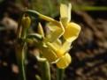 "Angel's Whisper,  5 Y-Y, Glenbrook Bulb Farm, 1997, Tasmania, Australia.<br><span class=""ds_text"">Photo #34,303 : Betty Goetz, Washington, United States</span>"