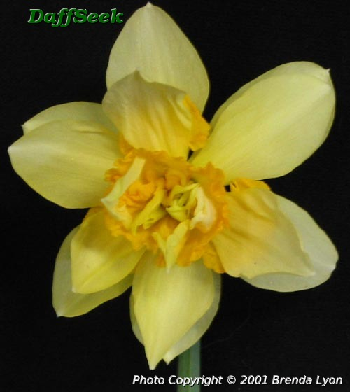 Image result for daffodil glowing phoenix
