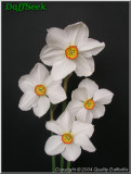 "Actaea,  9 W-YYR, G. Lubbe and Son, 1919, the Netherlands. <br><span class=""ds_text"">Photo #20,704 : Quality Daffodils, England, UK</span>"