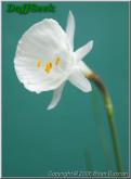 N. cantabricus subsp. cantabricus var. foliosus