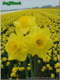 "Camelot,  2 Y-Y, J. Lionel Richardson, 1962, Ireland. <br><span class=""ds_text"">Photo #13,539 Apr 23, 2007: John Scheepers Bulbs, Inc., Connecticut, USA</span><br/><span class=""ds_text_exif"">Properties: FUJIFILM FinePix S5000, Original Size 443 x 586, Exposure 1/640 sec, Aperture f/5.6, ISO 160, No flash, Focal length 7.5 mm, Exposure Program AE</span><br>"