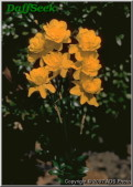 "Flore Pleno,  4 Y-Y, Unknown Hybridizer, 1897. <br><span class=""ds_text"">Photo #13,122 : ADS Photo, USA</span>"