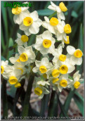 "Avalanche,  8 W-Y, T.M. Dorrien Smith, 1955, Isles of Scilly, UK. <br><span class=""ds_text"">Photo #11,350 : Old House Gardens Heirloom Bulbs, Michigan, USA</span>"