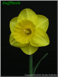 "Camelot,  2 Y-Y, J. Lionel Richardson, 1962, Ireland. <br><span class=""ds_text"">Photo #20,720 : Quality Daffodils, England, UK</span>"