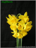 "Quail,  7 Y-Y, Grant E. Mitsch, 1974, Oregon, USA. <br><span class=""ds_text"">Photo #20,835 : Quality Daffodils, England, UK</span>"