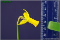 "Snook,  6 Y-Y, Glenbrook Bulb Farm, 1997, Tasmania, Australia. <br><span class=""ds_text"">Photo #26,867 Mar 05, 2009: Kirby Fong, California, United States</span><br/><span class=""ds_text_exif"">Properties:  Canon EOS 50D, Original Size 906 x 607, Exposure 1/8 sec, Aperture f/11.0, ISO 100, No flash, Focal length 50.0 mm, Exposure Aperture-priority AE</span><br>"