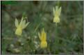 N. triandrus subsp. pallidulus