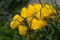 N. bulbocodium subsp. bulbocodium var. conspicuus