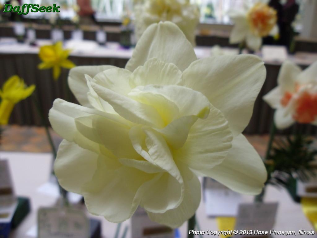 """Obdam: Daffodil (Narcissus) """"Obdam"""" Details In The DaffSeek Database"""