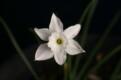 N. rupicola subsp. watieri