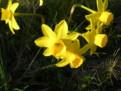 N. assoanus subsp. assoanus var. assoanus