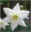 White plume