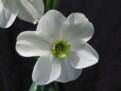 Daffodale