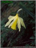 N. abscissus var. abscissus