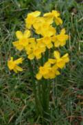 N. fernandesii var. cordubensis