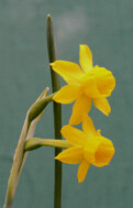 N. scaberulus