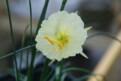 N. romieuxii subsp. romieuxii var. romieuxii