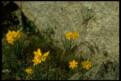 N. rupicola subsp. rupicola