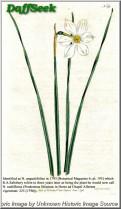 N. radiiflorus var. radiiflorus
