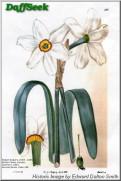 N. poeticus var. recurvus