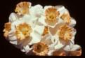 Rose Caprice