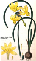 N. triandrus subsp. triandrus var. triandrus