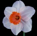 Rose Sheen