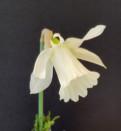 N. moschatus